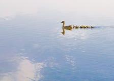Pato y anadón Imagen de archivo