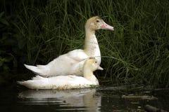 Pato y anadón Imagen de archivo libre de regalías