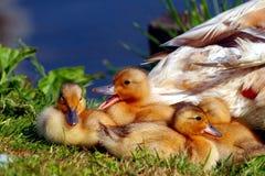 Pato y anadones Foto de archivo
