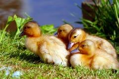 Pato y anadones Imágenes de archivo libres de regalías