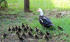Pato y anadones imagenes de archivo