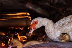 Pato y anadones de la madre El caminar lindo de los patos del beb? imágenes de archivo libres de regalías