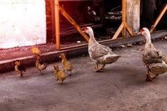 Pato y anadones de la madre El caminar de los patos del beb? imagen de archivo libre de regalías
