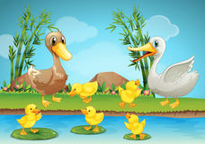 Pato y anadones de la madre en el río Foto de archivo