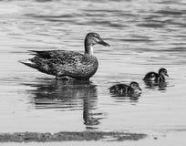 Pato y anadones de la mamá Fotografía de archivo libre de regalías