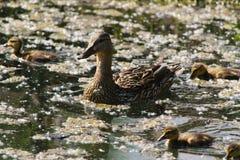 Pato y anadones del pato silvestre Fotos de archivo libres de regalías