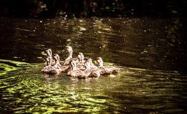 Pato y anadones del pato silvestre de la madre en el lago y Iris Gardens swan Foto de archivo