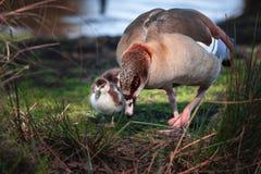 Pato y anadones en un parque natural en Richmond imagen de archivo