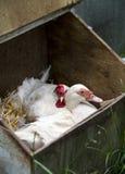 Pato y gallina Imagen de archivo libre de regalías