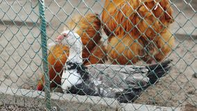 Pato y gallinas jovenes en la yarda de las aves de corral de la granja metrajes
