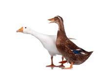 Pato y ganso imagenes de archivo