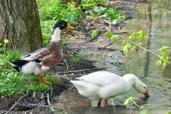 Pato y ganso Fotografía de archivo libre de regalías
