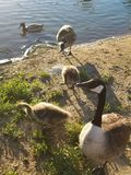 Pato y gansos en una charca quack imagenes de archivo