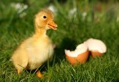 Pato y huevo quebrado Fotografía de archivo