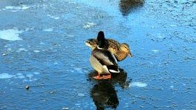 Pato y pato macho que se colocan en el hielo del invierno Fotos de archivo