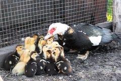 Pato y pequeños anadones imagen de archivo libre de regalías