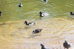 Pato y pequeños anadones Duck Drake foto de archivo libre de regalías