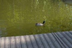 Pato y pequeños anadones Duck Drake imagen de archivo libre de regalías