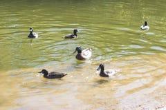 Pato y pequeños anadones Duck Drake fotografía de archivo