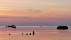 Pato y sus jóvenes en el mar Báltico almacen de video