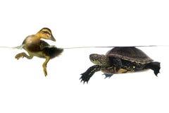 Pato y tortuga Foto de archivo libre de regalías