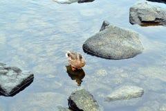 Pato zambullidor en piedras en el río Fotos de archivo
