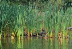 Pato zambullidor en un inicio de sesión los matorrales del cattail fotografía de archivo