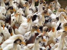Patos 1 Imagens de Stock Royalty Free