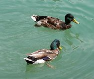 Patos fotografia de stock royalty free