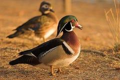 Patos Fotografía de archivo