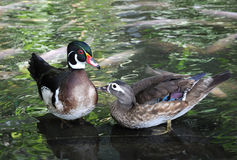 Patos Fotos de Stock Royalty Free