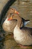 Patos Foto de archivo