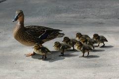 Patos Foto de Stock