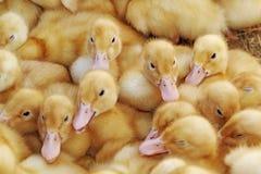 Patos 3 Imagen de archivo