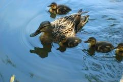 Patos Foto de archivo libre de regalías