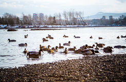 patos fotografia de stock royalty free