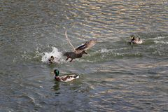 Patos adultos na água do rio ou do lago imagem de stock