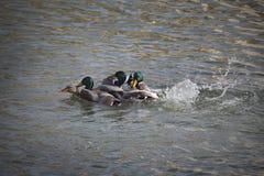 Patos adultos na água do rio ou do lago imagens de stock royalty free