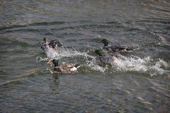 Patos adultos na água do rio ou do lago fotos de stock