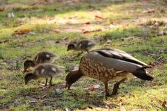 Patos australianos Imágenes de archivo libres de regalías