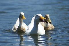 Patos blancos Foto de archivo