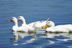 Patos blancos Imagen de archivo libre de regalías