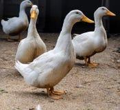 Patos blancos caseros un corral fotos de archivo