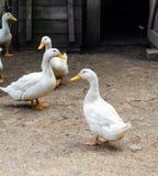 Patos blancos caseros un corral foto de archivo libre de regalías