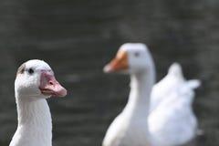 Patos blancos en el lago en Maryland fotos de archivo libres de regalías