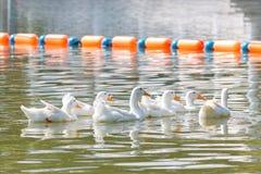 Patos blancos que nadan fotos de archivo