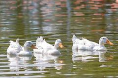 Patos blancos que nadan imagenes de archivo