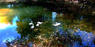 patos blancos que nadan en la imagen atractiva hermosa de la acción de agua de la mirada de la opinión del lago que sorprende imagen de archivo