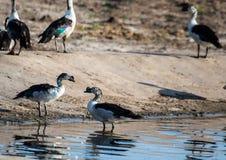 patos Botão-faturados no Nxai Pan Nationalpark em Botswana fotografia de stock royalty free