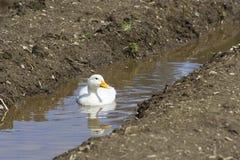 Patos brancos Imagem de Stock Royalty Free